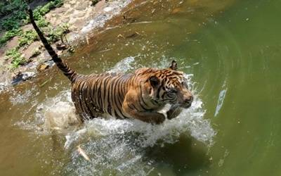 Tiger population booms in India's Terai region