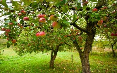 Climate change pushing apple orchards to higher altitudes in HP