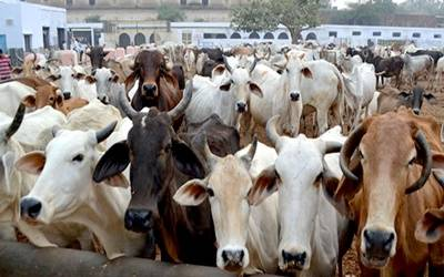 Milch animals to be insured in Bihar