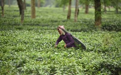SL eyes $1.3bn export earnings from tea in 2020