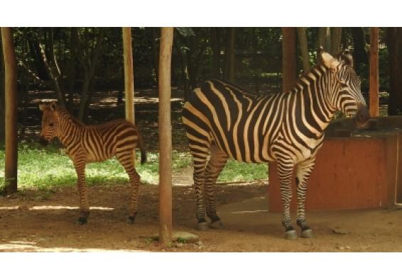 Female zebra foal becomes Mysuru zoo's newest resident