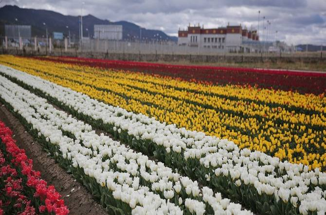 A beautiful view of tulips row at the Napa Grassland in Shangri-la County, China. (Photo: IANS)